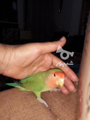 طوطی برزیلی هردو نر سالم وبازیگوش در گروه خرید و فروش ورزش فرهنگ فراغت در تهران در شیپور-عکس6