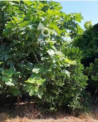 باغ مرکبات و سیاه ریشه در گروه خرید و فروش املاک در مازندران در شیپور-عکس5