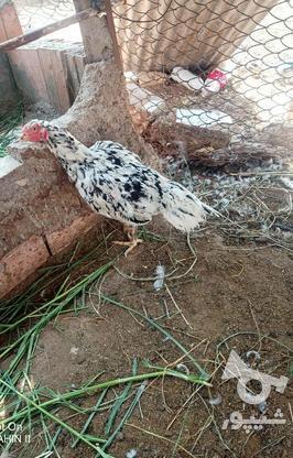 فروش مرغ لاری چیل اس در گروه خرید و فروش ورزش فرهنگ فراغت در مازندران در شیپور-عکس1