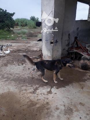 سگ افغانی و میکس ژرمنو هاسکی نگهبان قهار در گروه خرید و فروش ورزش فرهنگ فراغت در مازندران در شیپور-عکس2