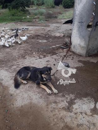 سگ افغانی و میکس ژرمنو هاسکی نگهبان قهار در گروه خرید و فروش ورزش فرهنگ فراغت در مازندران در شیپور-عکس3