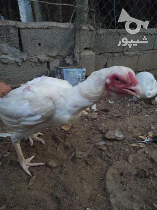 مرغ لاری درحال تخم گذاری در گروه خرید و فروش ورزش فرهنگ فراغت در مازندران در شیپور-عکس2
