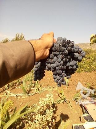 انگور دیم ذغالی در گروه خرید و فروش خدمات و کسب و کار در آذربایجان غربی در شیپور-عکس2