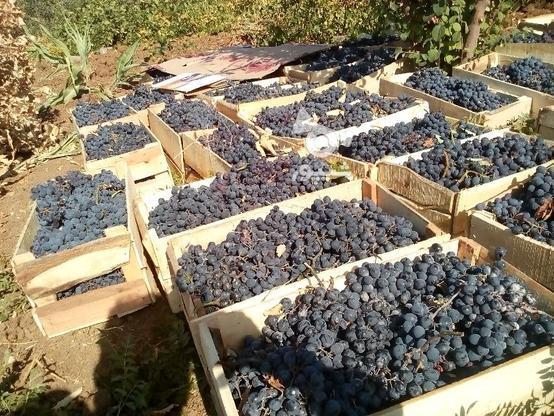 انگور دیم ذغالی در گروه خرید و فروش خدمات و کسب و کار در آذربایجان غربی در شیپور-عکس1