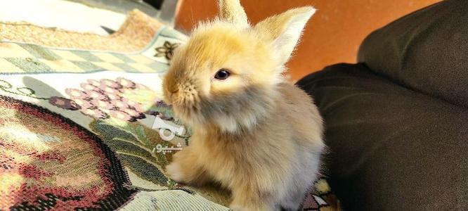 خرگوش جرسی 2 ماهه در گروه خرید و فروش ورزش فرهنگ فراغت در مازندران در شیپور-عکس1