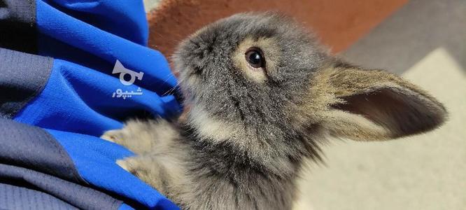 خرگوش جرسی 2 ماهه در گروه خرید و فروش ورزش فرهنگ فراغت در مازندران در شیپور-عکس2