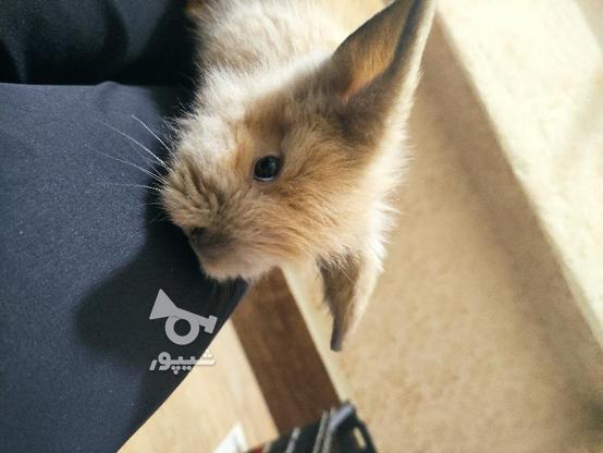 خرگوش جرسی 2 ماهه در گروه خرید و فروش ورزش فرهنگ فراغت در مازندران در شیپور-عکس3