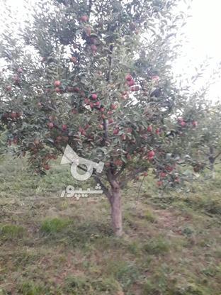 فروش سیب قرمز روی درخت بدون لکه در گروه خرید و فروش خدمات و کسب و کار در آذربایجان غربی در شیپور-عکس1