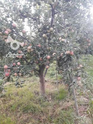 فروش سیب قرمز روی درخت بدون لکه در گروه خرید و فروش خدمات و کسب و کار در آذربایجان غربی در شیپور-عکس4