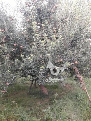 فروش سیب قرمز روی درخت بدون لکه در گروه خرید و فروش خدمات و کسب و کار در آذربایجان غربی در شیپور-عکس2