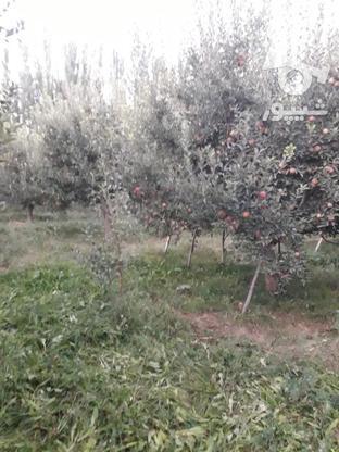 فروش سیب قرمز روی درخت بدون لکه در گروه خرید و فروش خدمات و کسب و کار در آذربایجان غربی در شیپور-عکس3