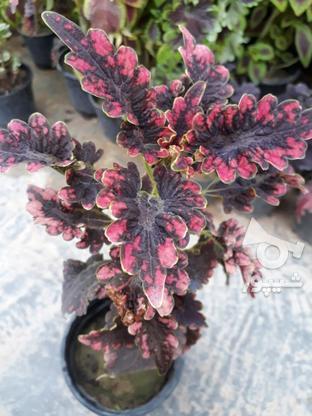 گلهای حسن و یوسف ها در گروه خرید و فروش لوازم خانگی در مازندران در شیپور-عکس1