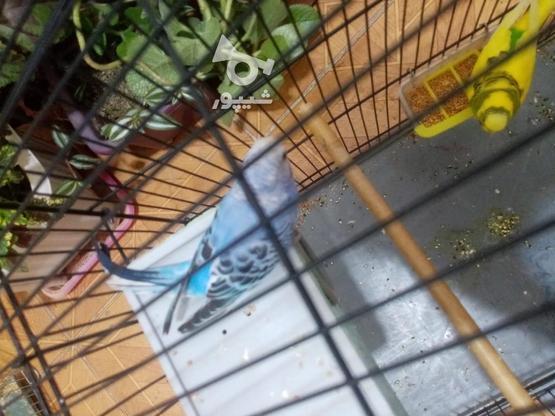 مرغ عشق مولد با قفس و وسایل در گروه خرید و فروش ورزش فرهنگ فراغت در کردستان در شیپور-عکس4