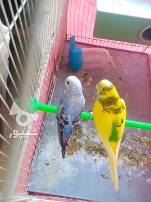 مرغ عشق مولد با قفس و وسایل در گروه خرید و فروش ورزش فرهنگ فراغت در کردستان در شیپور-عکس6