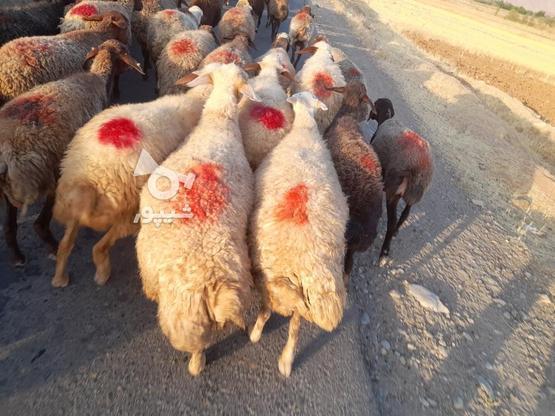 گوسفند فروش آبستن وجوان در گروه خرید و فروش ورزش فرهنگ فراغت در کردستان در شیپور-عکس4