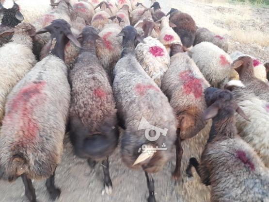 گوسفند فروش آبستن وجوان در گروه خرید و فروش ورزش فرهنگ فراغت در کردستان در شیپور-عکس1