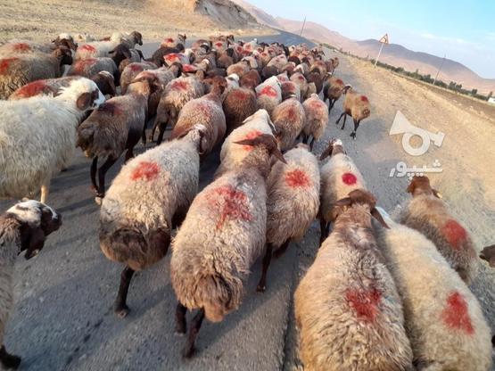 گوسفند فروش آبستن وجوان در گروه خرید و فروش ورزش فرهنگ فراغت در کردستان در شیپور-عکس6