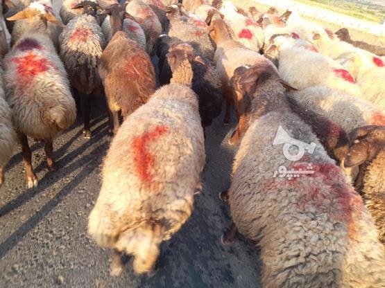 گوسفند فروش آبستن وجوان در گروه خرید و فروش ورزش فرهنگ فراغت در کردستان در شیپور-عکس3