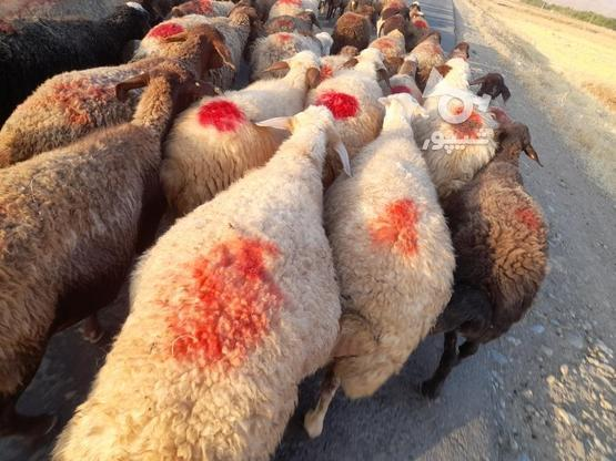 گوسفند فروش آبستن وجوان در گروه خرید و فروش ورزش فرهنگ فراغت در کردستان در شیپور-عکس5