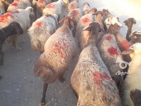 گوسفند فروش آبستن وجوان در گروه خرید و فروش ورزش فرهنگ فراغت در کردستان در شیپور-عکس8