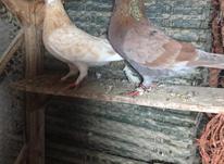 کبوتر پروازی و نسل خوب در شیپور-عکس کوچک