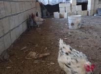 مرغ وخروس لری اصل در شیپور-عکس کوچک