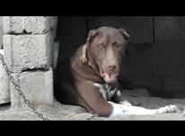 سگ افغانی عالی در شیپور-عکس کوچک