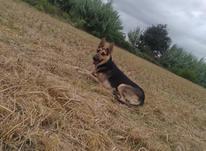 سگ میکس ژرمن گرگی در شیپور-عکس کوچک