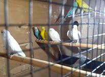 مرغ عشق بالغ مینودشت در شیپور-عکس کوچک
