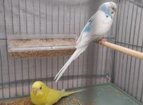 جفت مرغ عشق مولد با قفس در شیپور-عکس کوچک