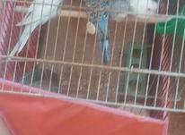فروش 6 عدد مرغ عشق در شیپور-عکس کوچک