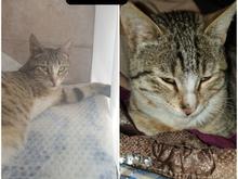 گمشده گربه فلج در شیپور