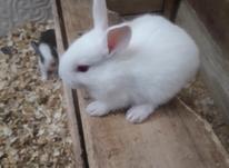 فروش خرگوش در ریزترین سایزدررنگهای متنوع در شیپور-عکس کوچک