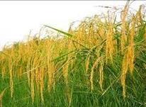 برنج طارم هاشمی در شیپور-عکس کوچک