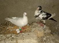20 عدد کبوتر بزرگ و جوان در شیپور-عکس کوچک