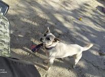 سگ پاپی ماده در شیپور-عکس کوچک