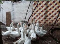 قوغاز سفید سالم سرحال تخم گذار در شیپور-عکس کوچک