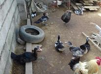 اردک روسی 5 ماهه در شیپور-عکس کوچک