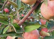 سیب قرمز و زرد لبنان- آذربایجان غربی- تکاب در شیپور-عکس کوچک