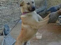 سگ گرگی نر در شیپور-عکس کوچک