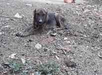 توله سگ نر نگهبانی در شیپور-عکس کوچک