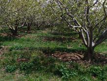 باغ سیب زرد و قرمز در شیپور