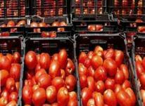 ابگیری گوجه فرنگی با دستگاه تمام استیل در شیپور-عکس کوچک