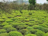 2 هکتار باغ چای سنددار در تموشل در شیپور-عکس کوچک