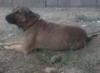 سگ گم شده گسی دیده مژدگانی دریافت میگنه در شیپور-عکس کوچک
