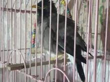 مرغ مینا14ماهه در شیپور