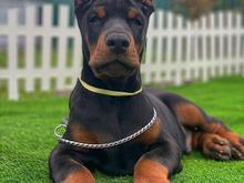 توله سگ دوبرمن نگهبان در شیپور