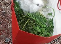 خرگوش لپی سایز ریز در شیپور-عکس کوچک