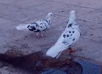 کفتر پرشی 24 عدد به صورت گنجه بر در شیپور-عکس کوچک