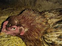 مرغ لاری کرچ در شیپور-عکس کوچک